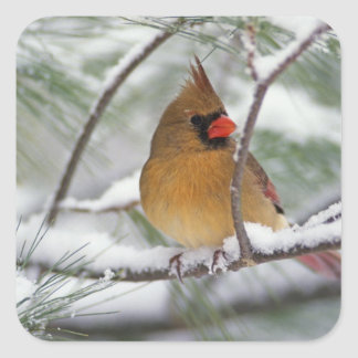 Female Northern Cardinal in snowy pine tree, Square Sticker