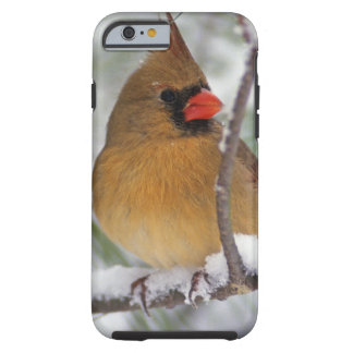 Female Northern Cardinal in snowy pine tree, Tough iPhone 6 Case