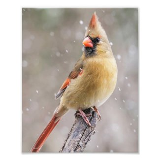 Female Northern Cardinal in the Snow Photo Print