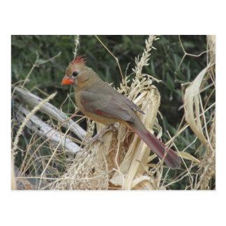 Female Northern Cardinal on Corn Tassel Postcard