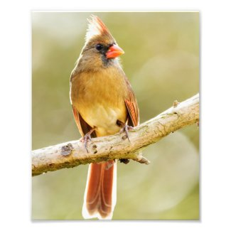 Female Northern Cardinal on Tree Limb Print