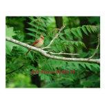 Female Northern Cardinal postcard