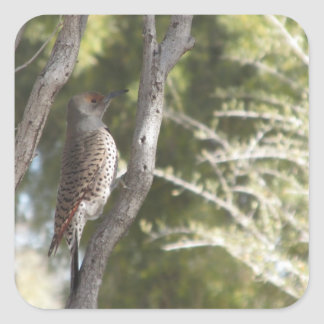 Female Northern Flicker Woodpecker Stickers