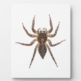 Female Pantropical Jumping Spider Display Plaques