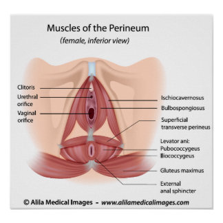 Female pelvis and perineum muscles, labeled poster
