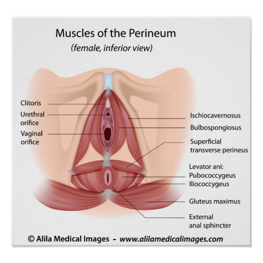 Female Pelvis And Perineum Muscles Labeled Poster Zazzle