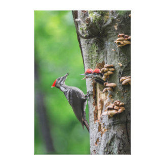 Female Pileated Woodpecker at nest hole Canvas Print