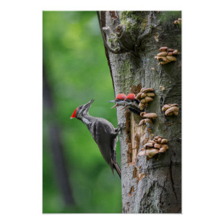 Female Pileated Woodpecker at nest hole Poster