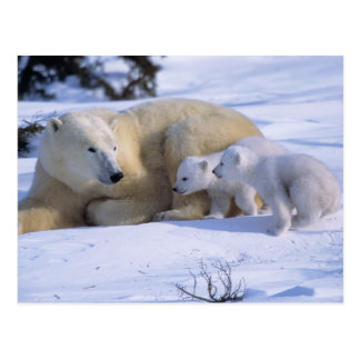 Female Polar Bear Lying Down with 2 coyscubs Postcard