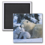 Female Polar Bear Lying Down with 2 Cubs 2 Inch Square Magnet
