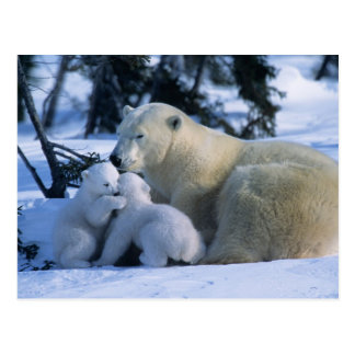 Female Polar Bear Lying Down with 2 Cubs Postcard