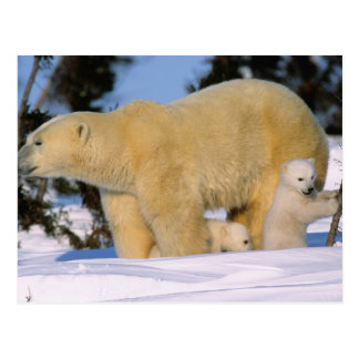 Female Polar Bear Standing with 2 Cubs, one Postcards