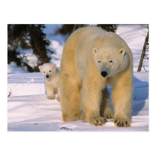 Female Polar Bear Standing with one cub or coy Postcards
