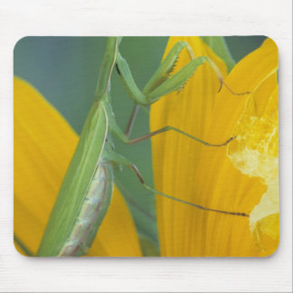 Female praying mantis with egg sac on mouse pad