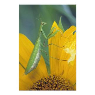 Female praying mantis with egg sac on photo