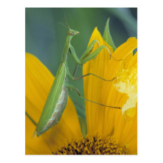 Female praying mantis with egg sac on postcard