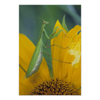 Female praying mantis with egg sac on poster