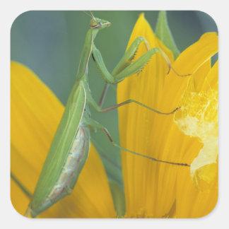 Female praying mantis with egg sac on stickers
