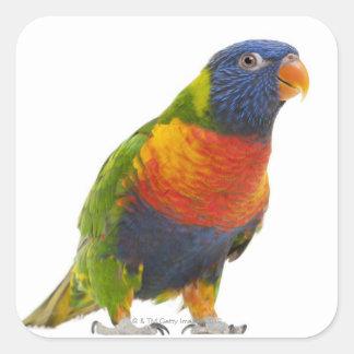 Female Rainbow Lorikeet - Trichoglossus Square Stickers