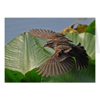 Female Red Winged Blackbird in Flight Card
