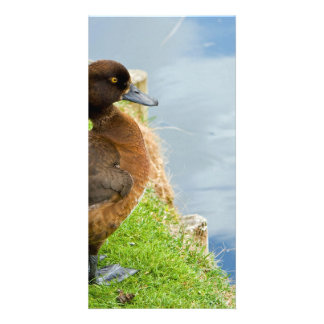 Female reddish Brown Tufted Diving Duck in grass Card