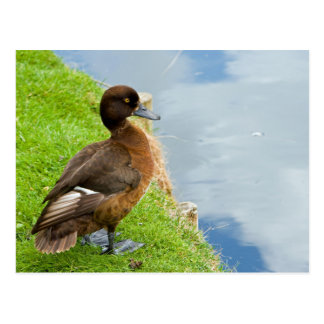 Female reddish Brown Tufted Diving Duck in grass Postcard