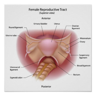 Female reproductive system labeled diagram poster