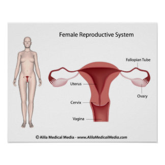 Female Reproductive System labeled Poster