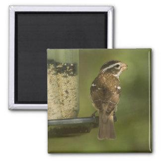 Female) Rose-breasted grosbeak at feeder, 2 Inch Square Magnet