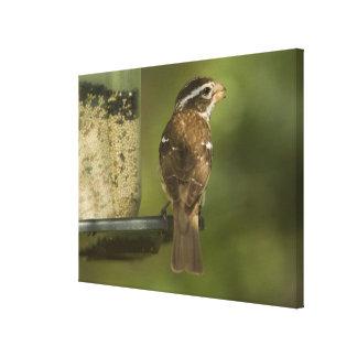 Female) Rose-breasted grosbeak at feeder, Canvas Print
