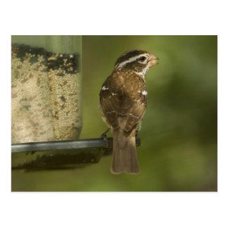 Female) Rose-breasted grosbeak at feeder, Postcard