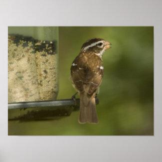Female) Rose-breasted grosbeak at feeder, Print