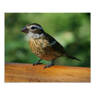 Female Rose-breasted Grosbeak bird print
