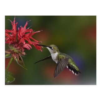 Female Ruby-throated Hummingbird feeding on Postcard