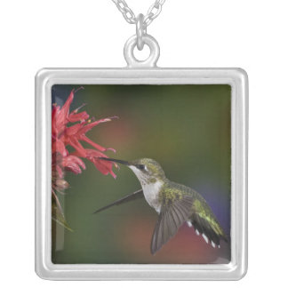 Female Ruby-throated Hummingbird feeding on Silver Plated Necklace