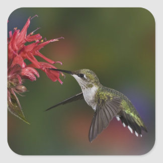 Female Ruby-throated Hummingbird feeding on Square Sticker