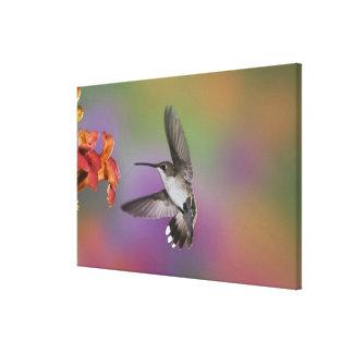 Female Ruby Throated Hummingbird in flight, 2 Canvas Print