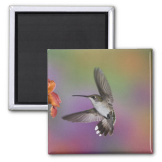 Female Ruby Throated Hummingbird in flight, 2 Magnet