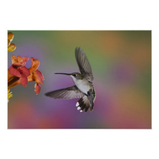 Female Ruby Throated Hummingbird in flight, 2 Poster