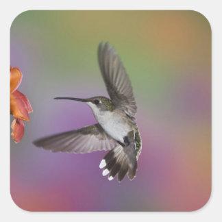 Female Ruby Throated Hummingbird in flight, 2 Square Sticker