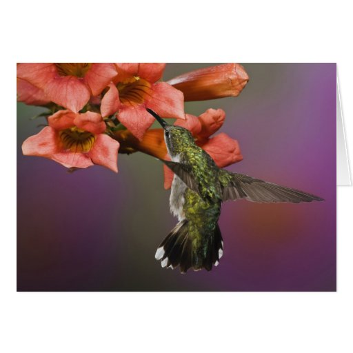 Female Ruby Throated Hummingbird in flight, Greeting Card