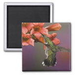 Female Ruby Throated Hummingbird in flight, 2 Inch Square Magnet