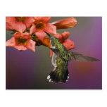Female Ruby Throated Hummingbird in flight, Postcard