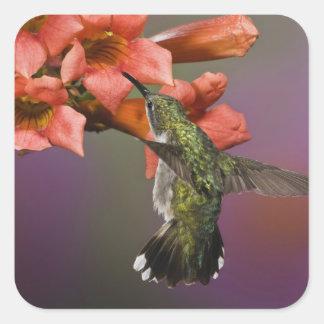 Female Ruby Throated Hummingbird in flight, Square Sticker