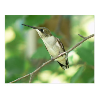 Female Ruby-throated Hummingbird Postcard. Postcard