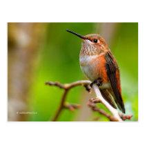 Female Rufous Hummingbird on the Plum Tree Postcard