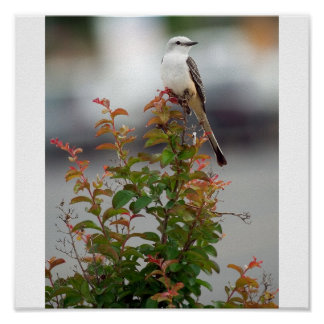 Female Scissortail Flycatcher Poster
