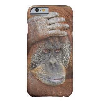 Female Sumatran Orangutan, Pongo pygmaeus Barely There iPhone 6 Case