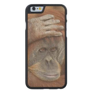 Female Sumatran Orangutan, Pongo pygmaeus Carved® Maple iPhone 6 Case
