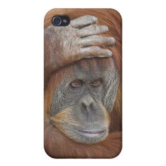 Female Sumatran Orangutan, Pongo pygmaeus Cases For iPhone 4